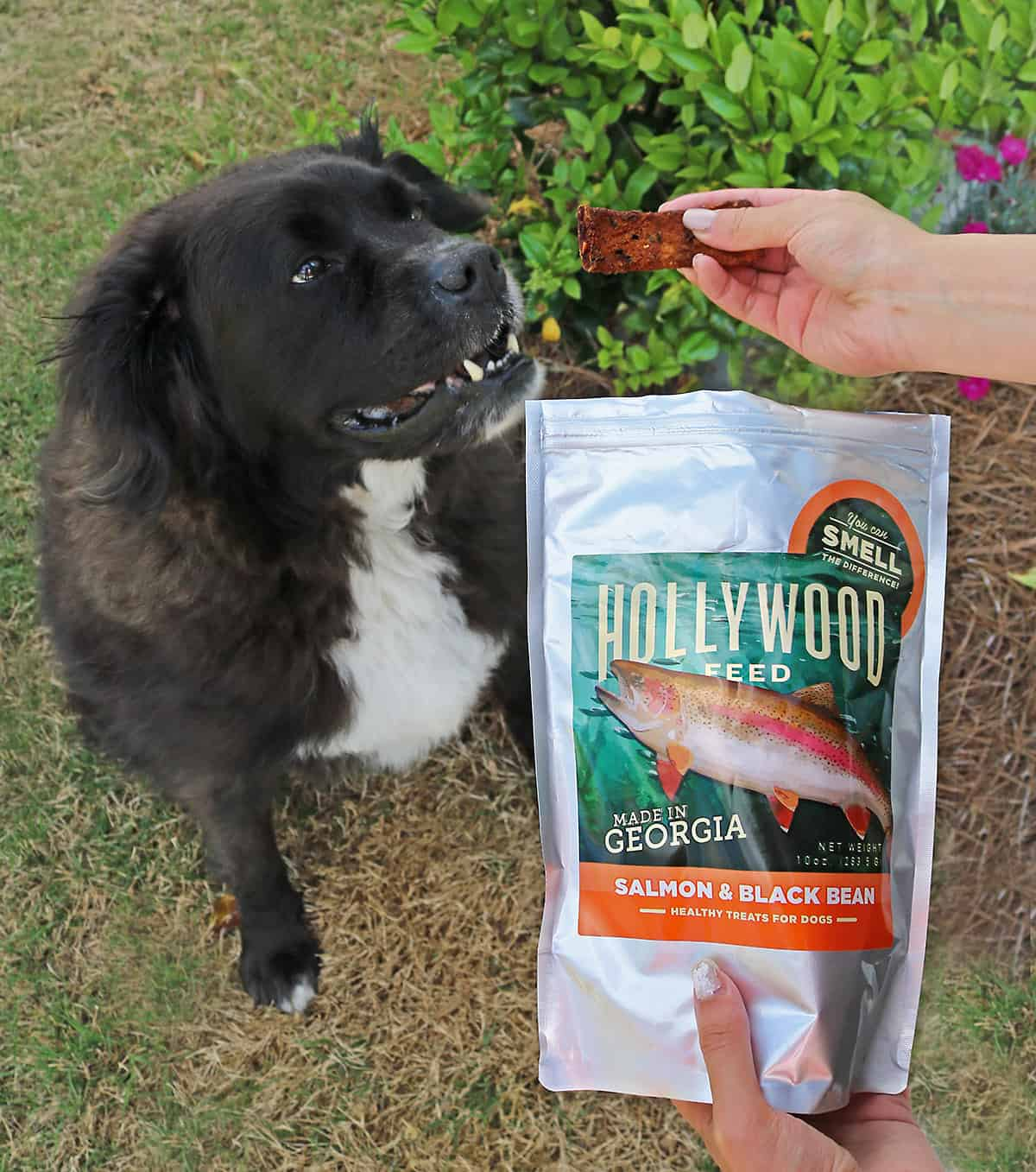 Ollie Enjoying Jerky And Us Staying Home